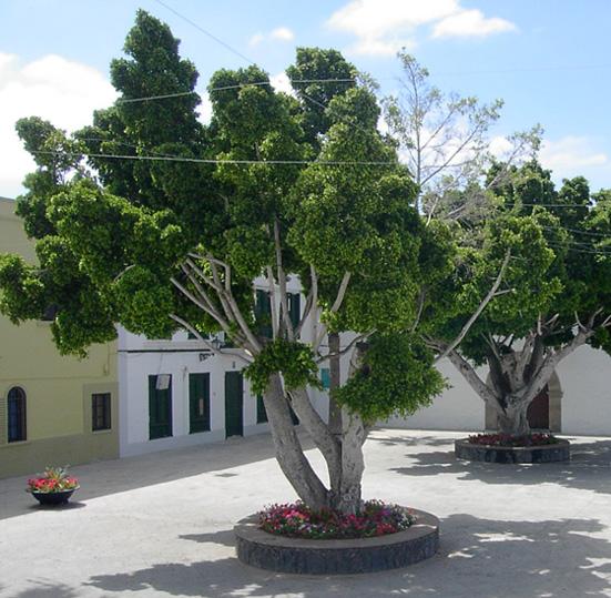 Depiction of Ficus benjamina