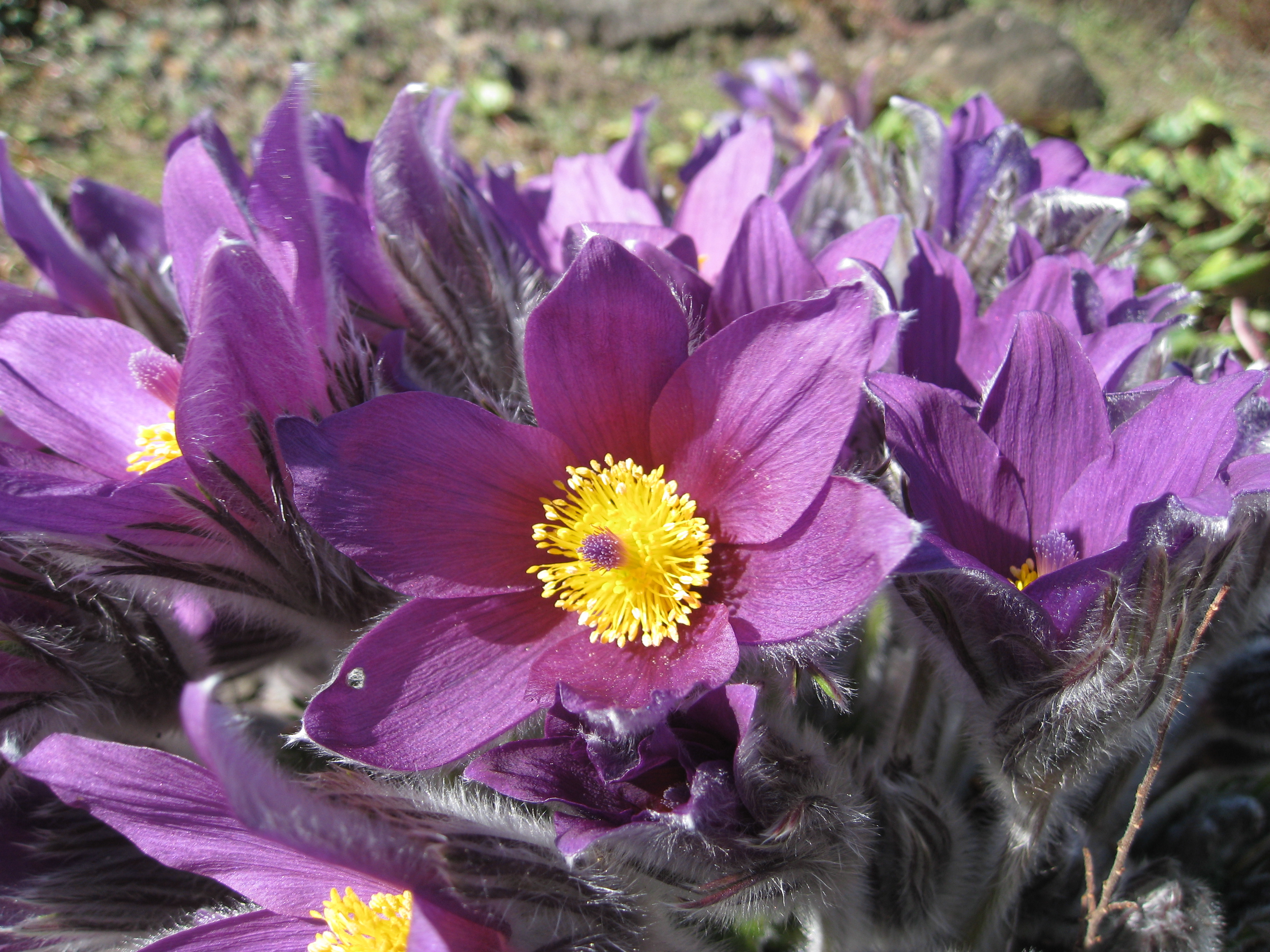 File Flickr brewbooks Pasque flower Wikimedia mons