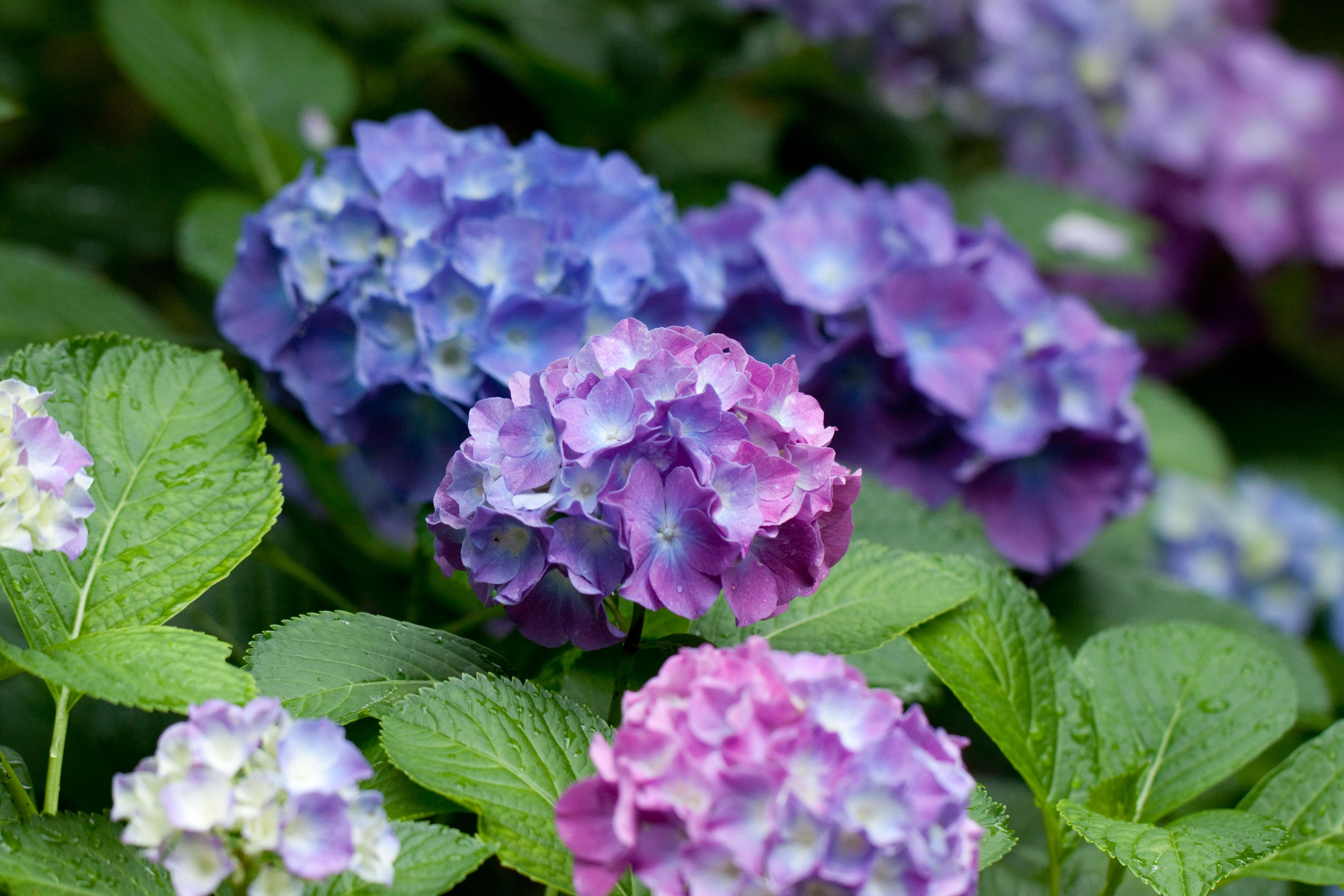 File Flower Hydrangea Flickr nekonomania 5