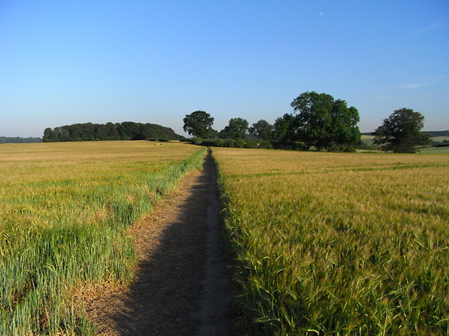 Footpath through barley near Amersham - geograph.org.uk - 1589862