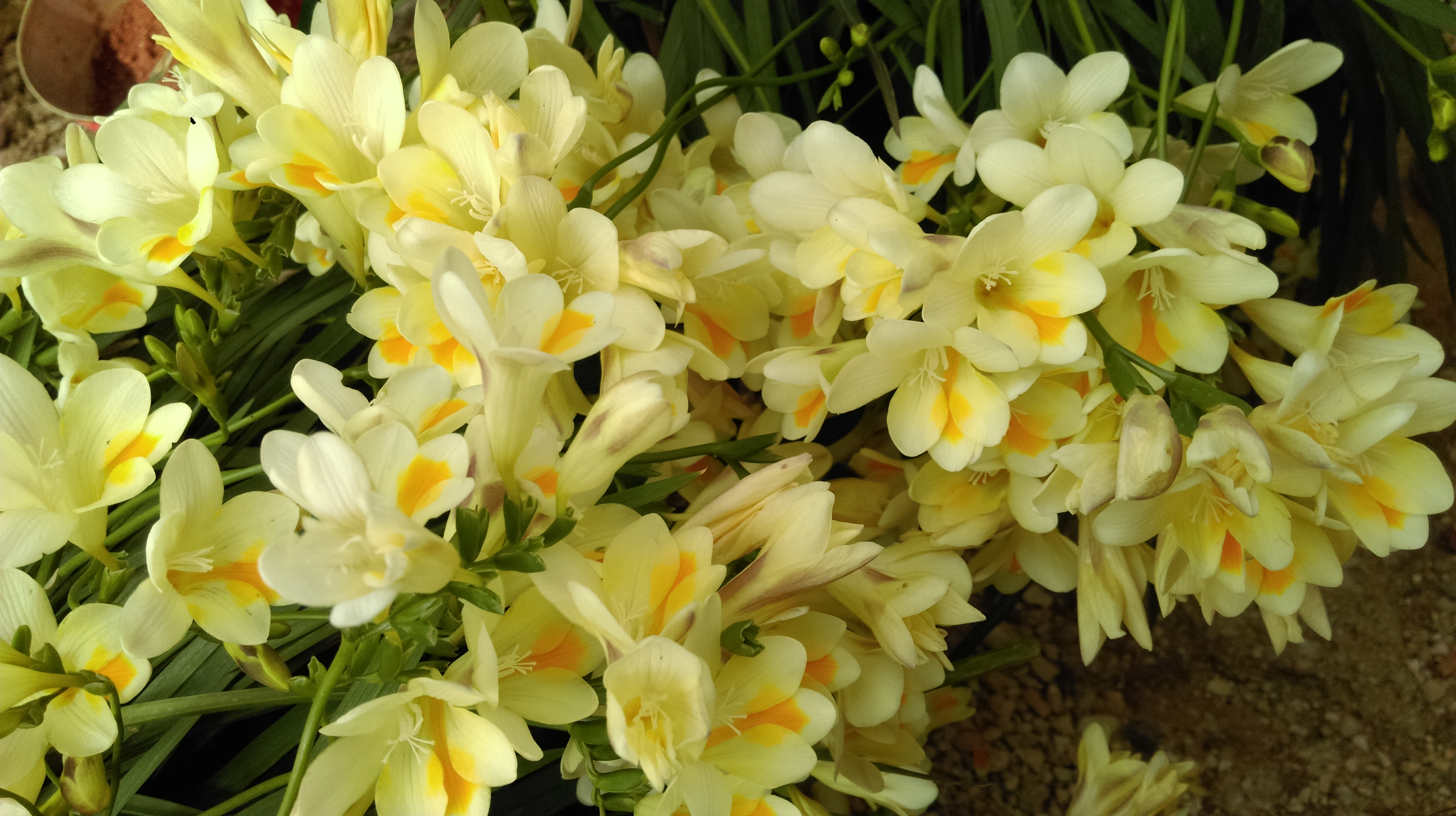Freesia - a flower that conquers with its fragrance 32