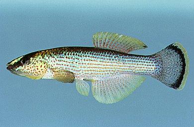 Northern Studfish Wikipedia