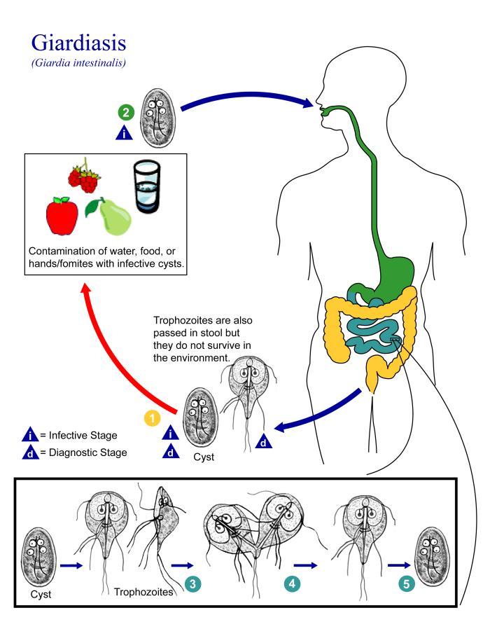 giardia duodenalis life cycle cdc)