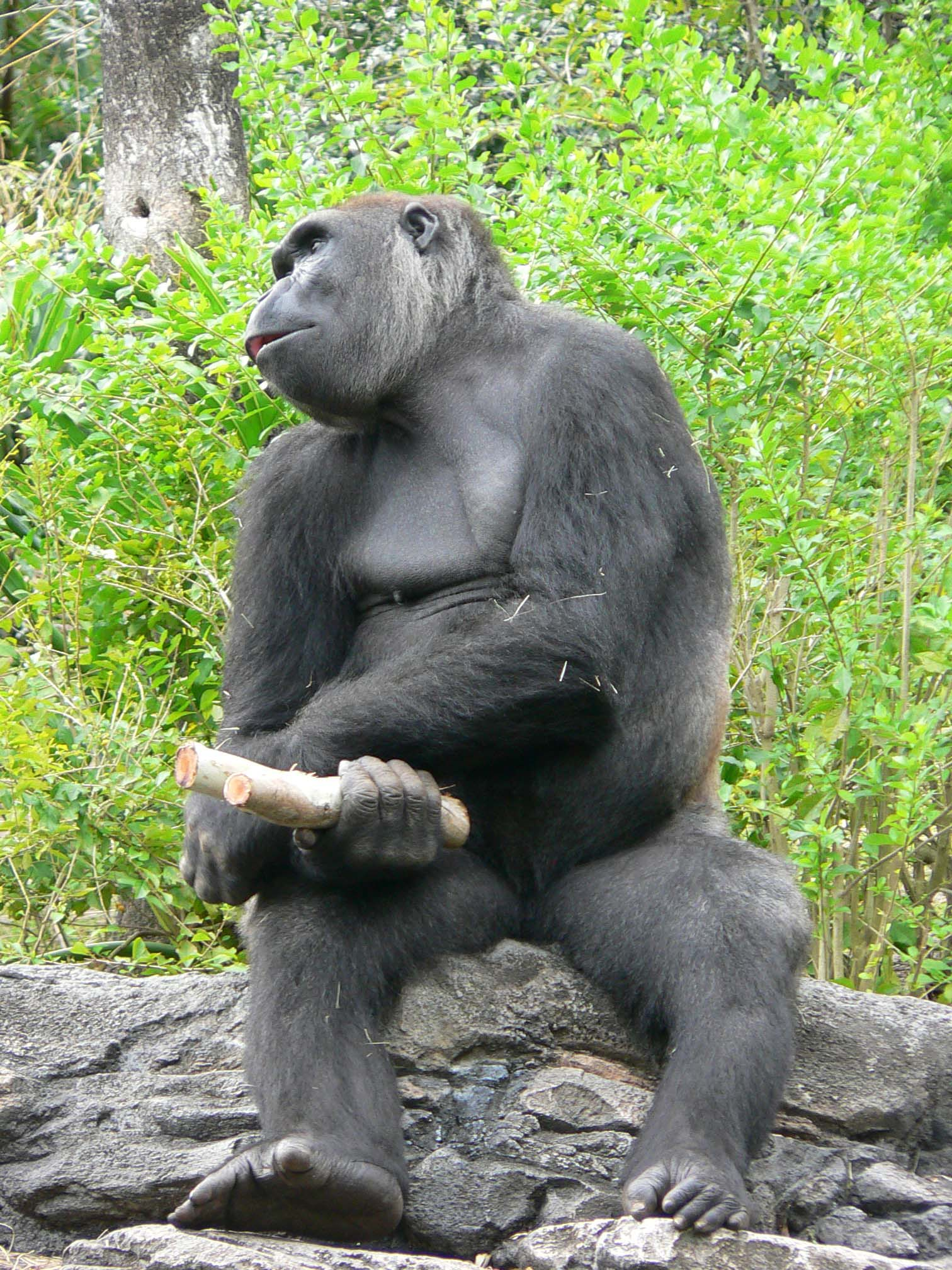 Gorilla penis pron download