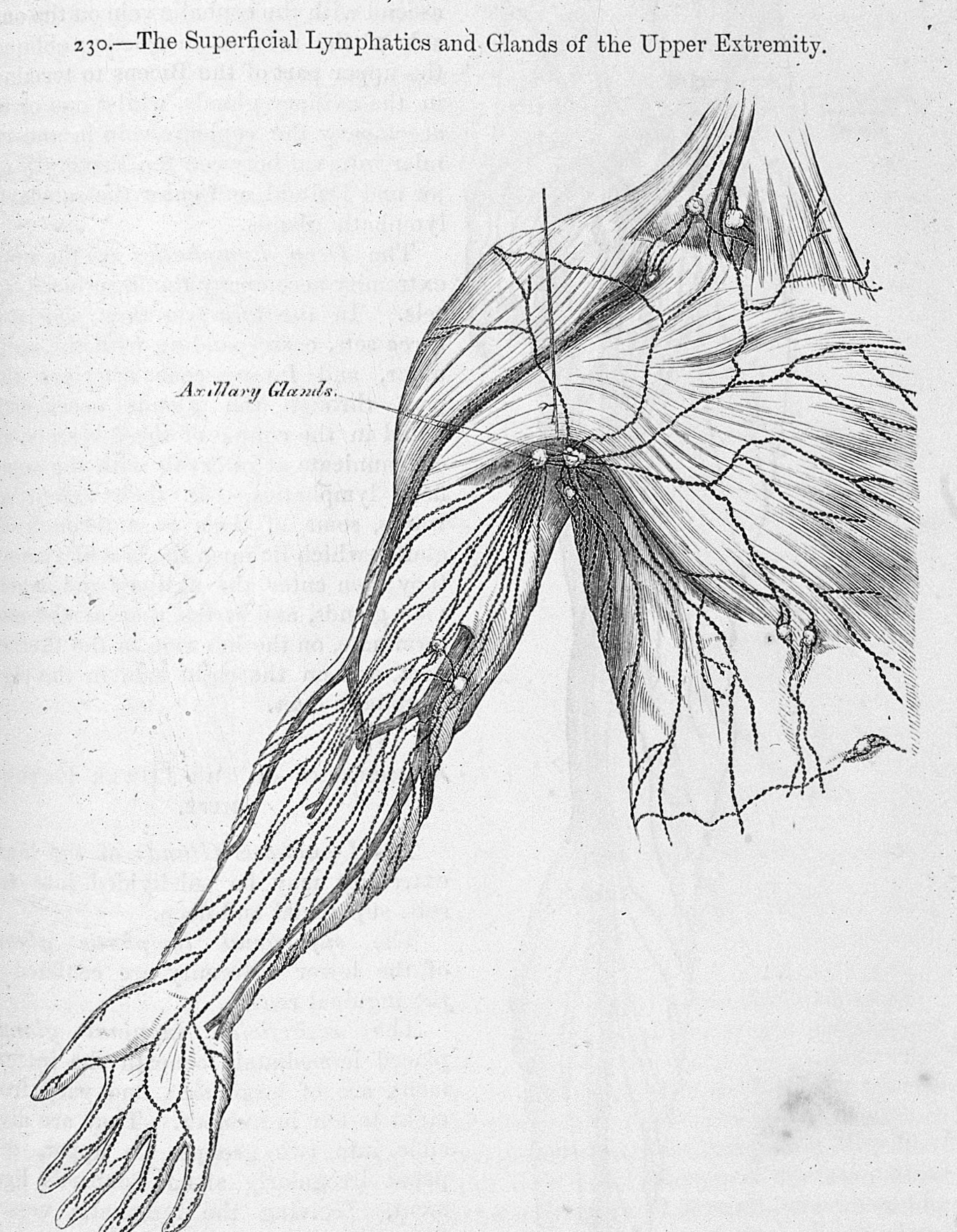 Fileh Gray Anatomy Descriptive And Surgical Wellcome L0028363