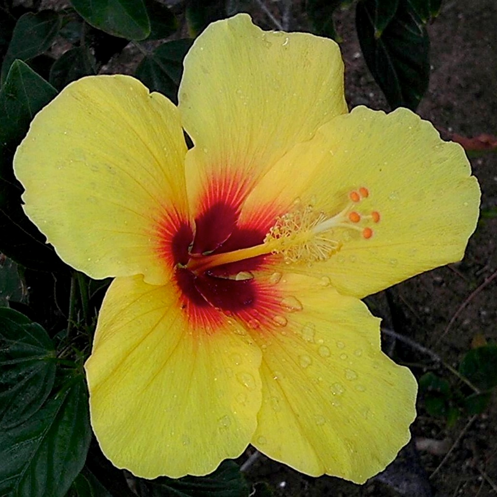 Hawaiian Hibiscus Flower