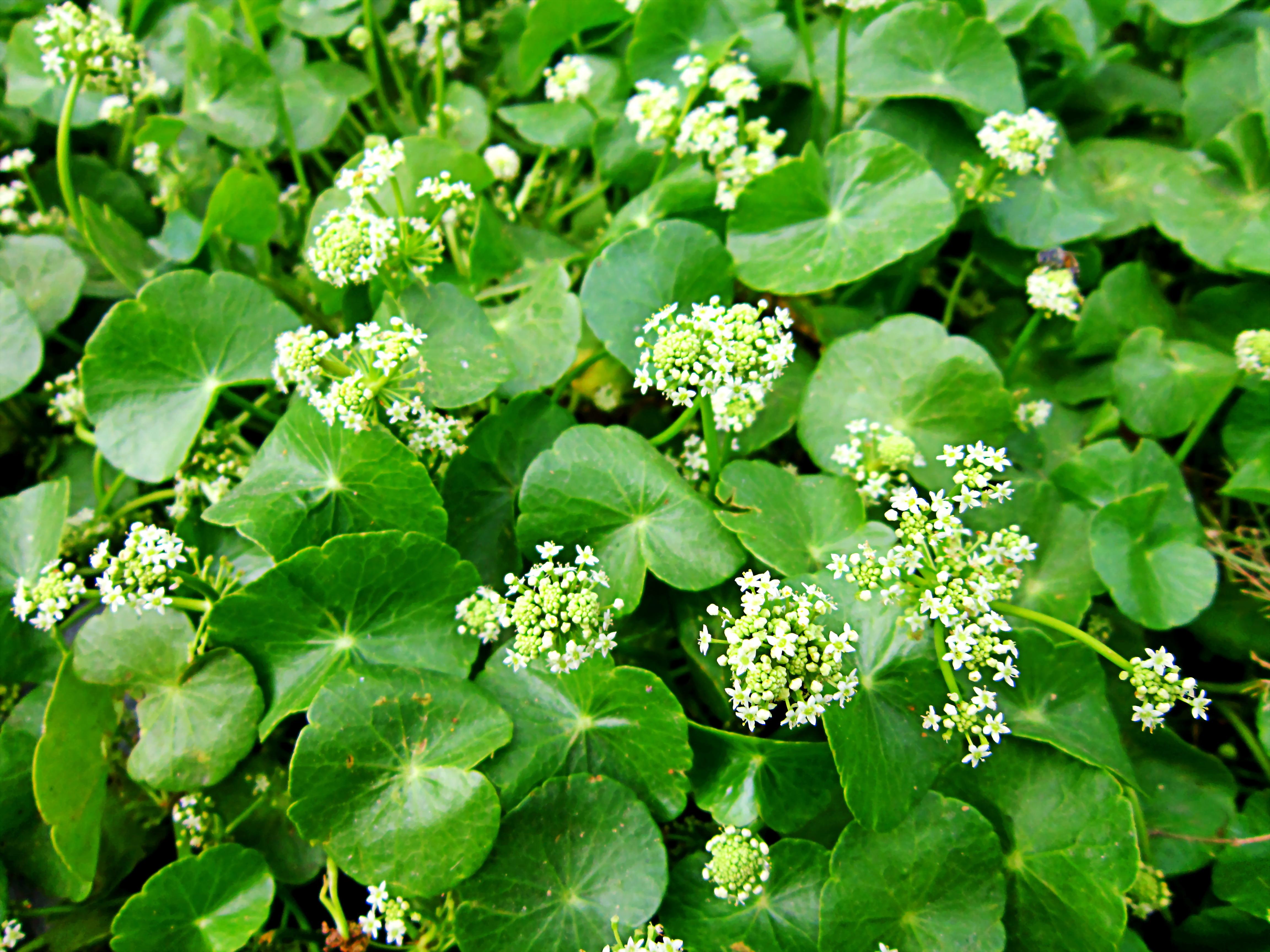 File:Hoa và lá rau má.jpg - Wikimedia Commons