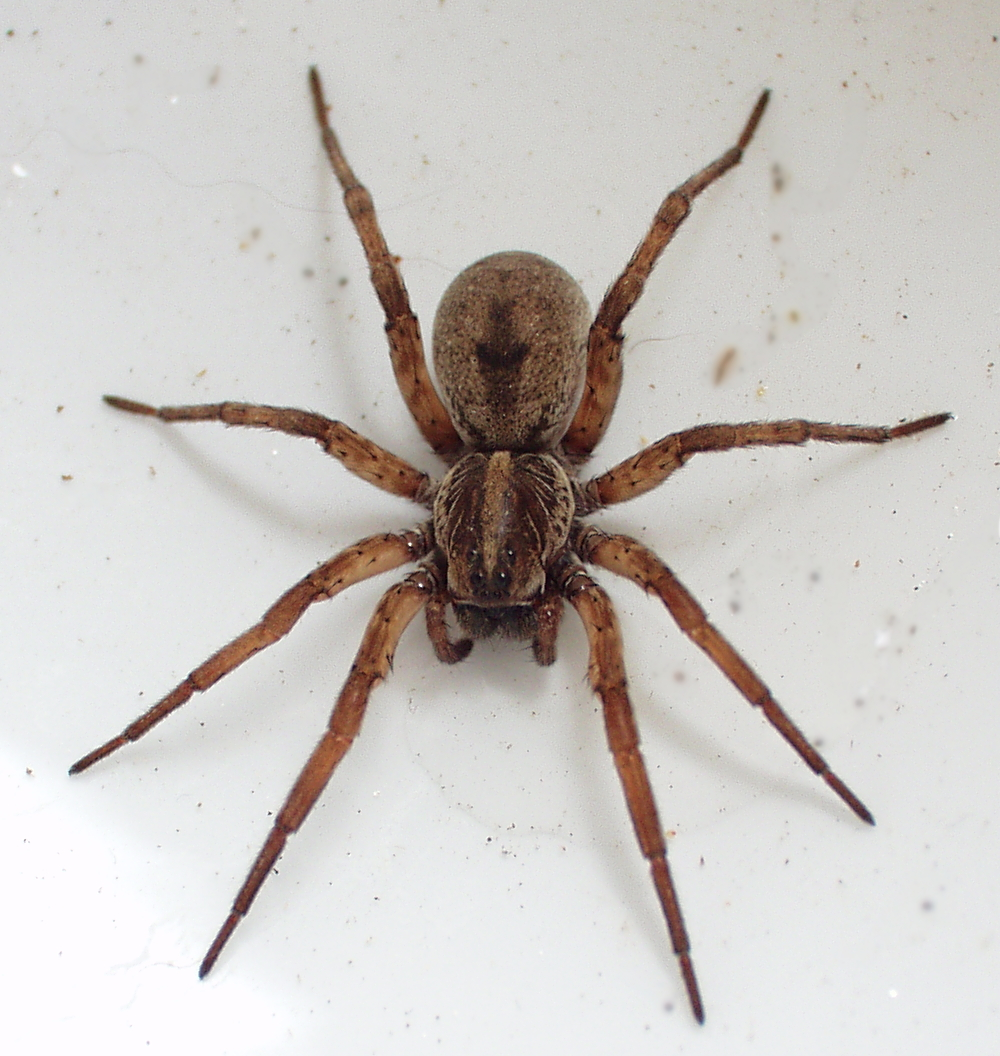 Wolf spider pictures of a