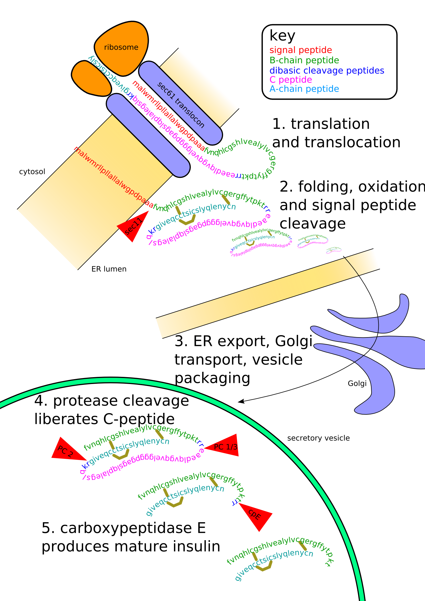 The bottom of this diagram shows the modification of primary structure of insulin, as described.