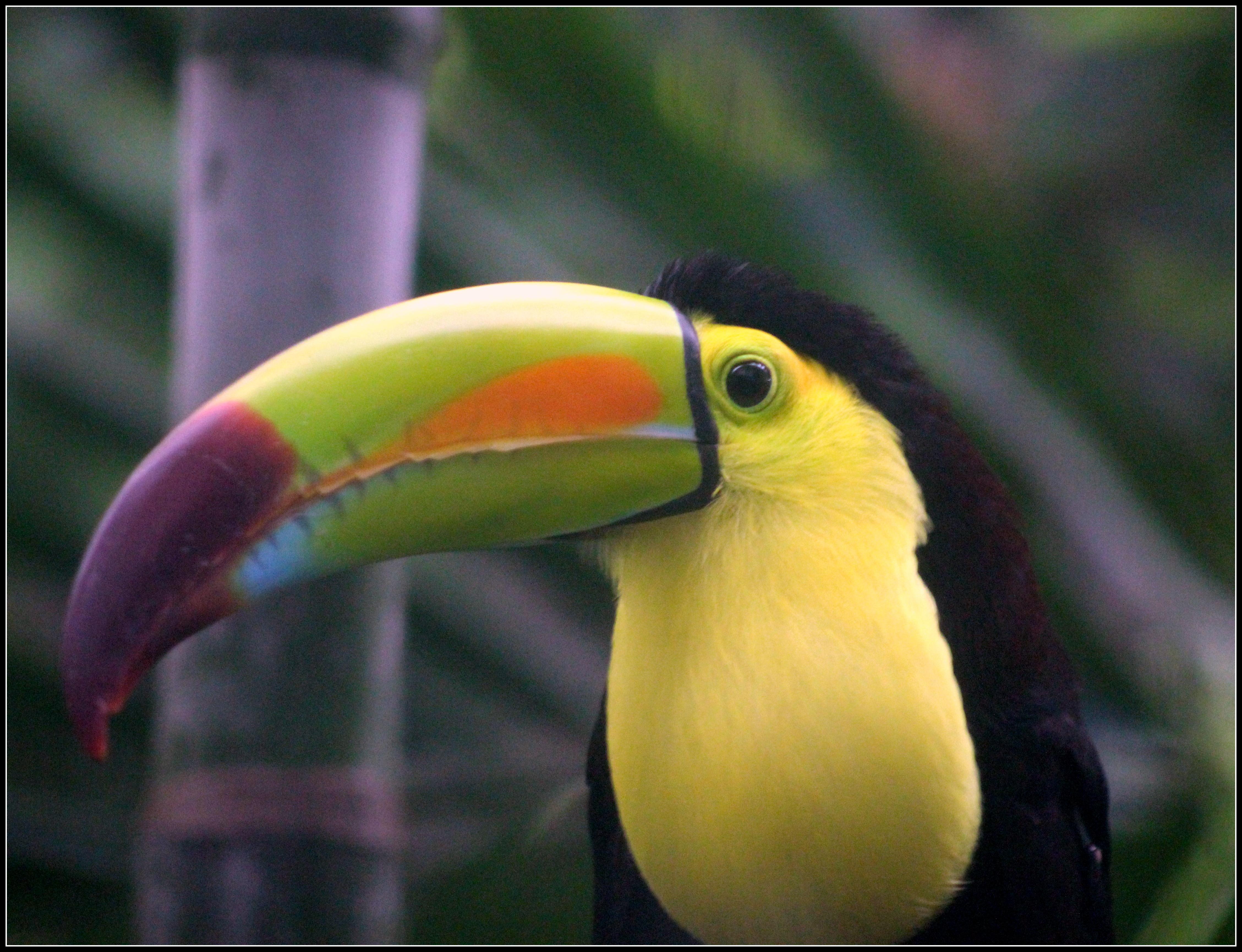 File:Keel-billed Toucan (7422585356).jpg - Wikimedia Commons