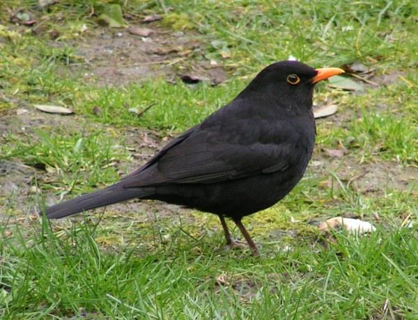 Amsel – Wiktionary