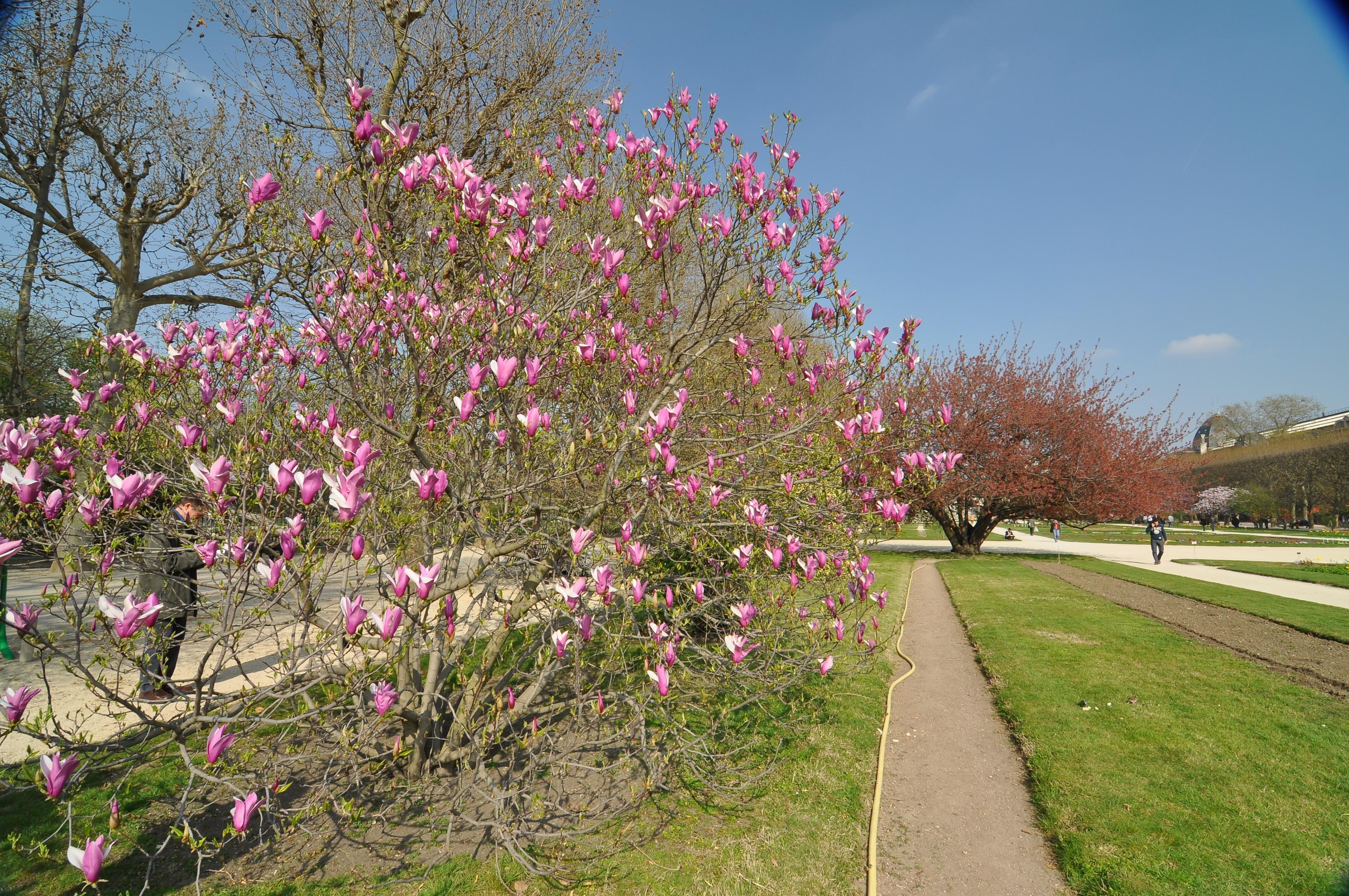 File magnolia liliiflora 39 nigra 39 in the jardin des plantes for Jardin 5e paris