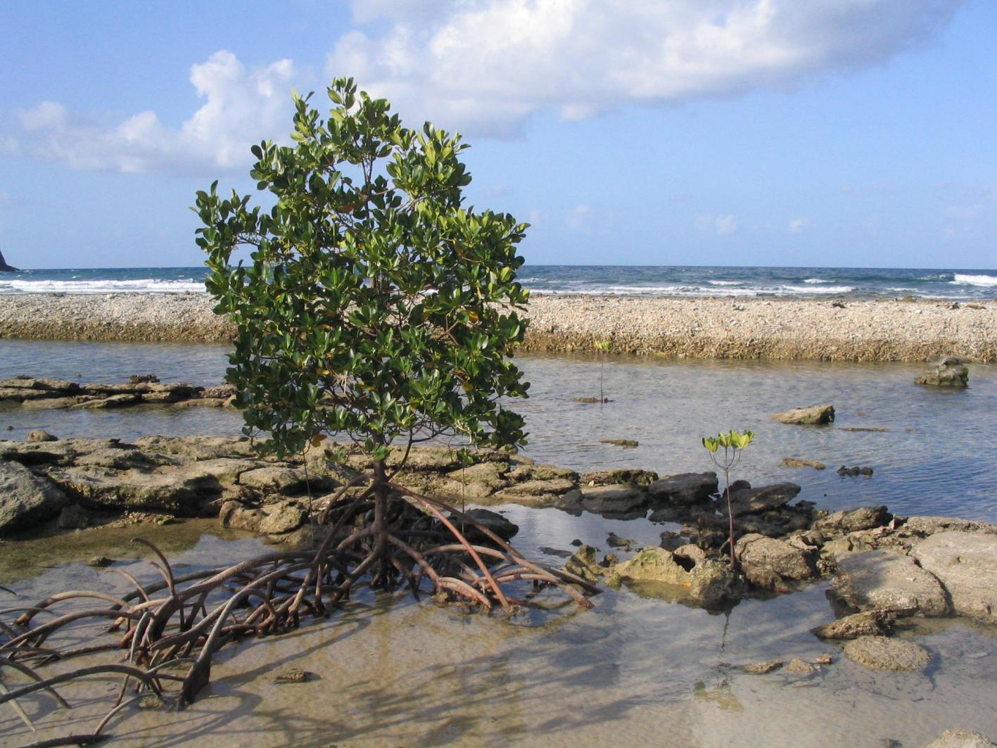 A red mangrove, Rhizophora mangle