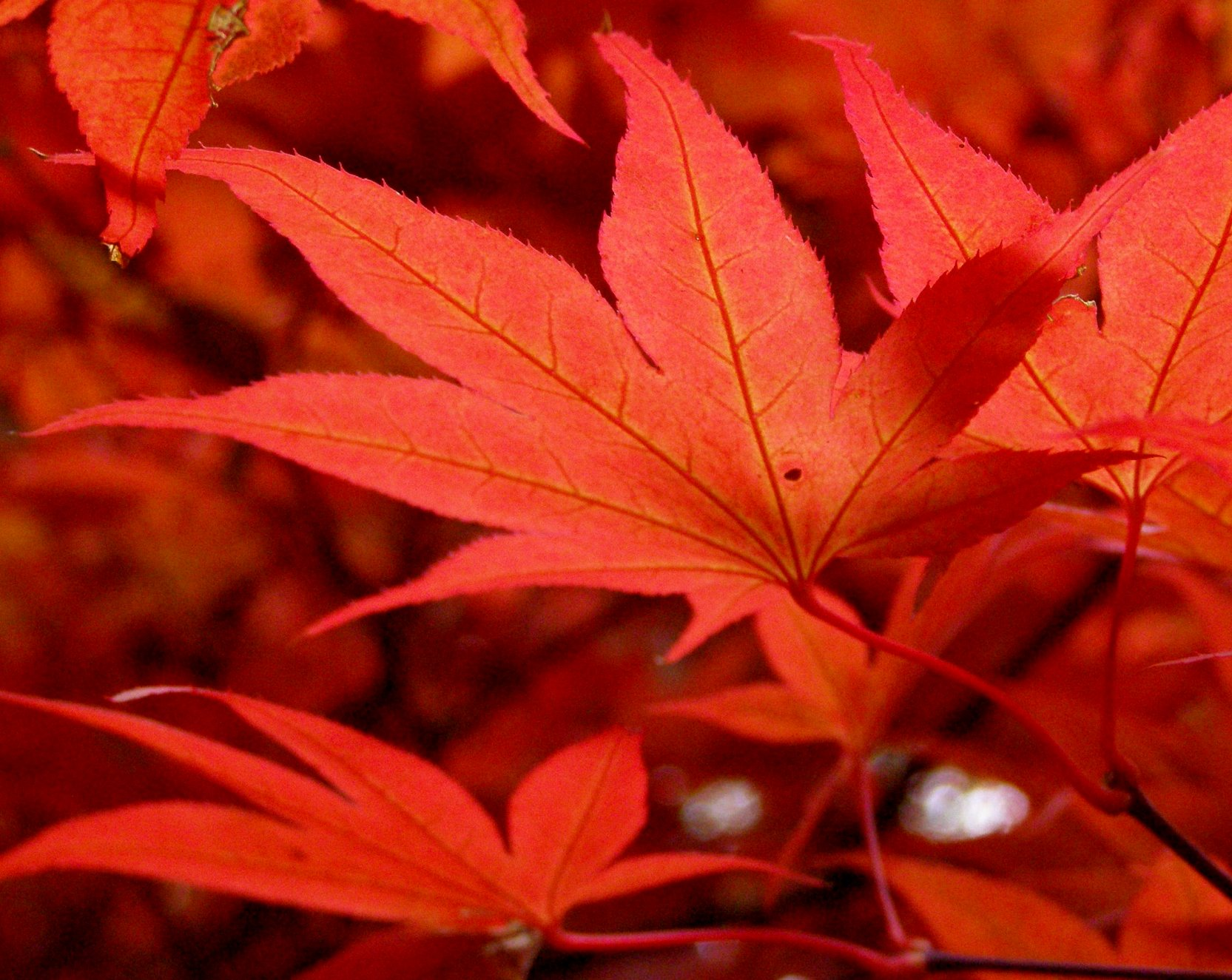 File:Maple leaves in October 2009.jpg - Wikipedia, the free ...: en.wikipedia.org/wiki/file:maple_leaves_in_october_2009.jpg