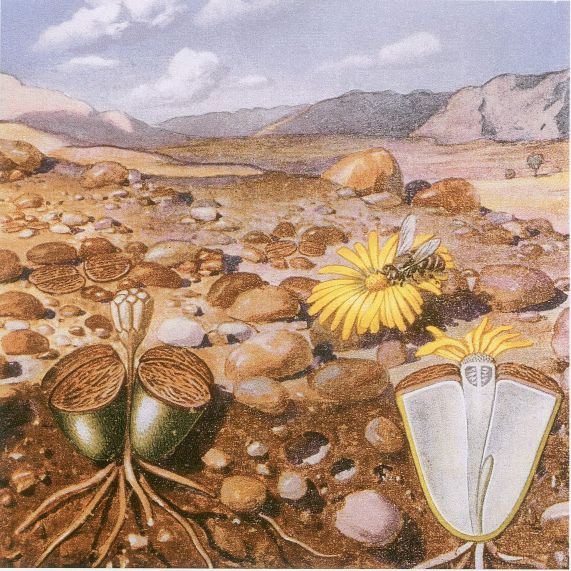Best Painting File Marloth Lithops Drawing Jpg Wikimedia Commons