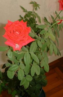 Rosa Mister Lincoln Wikipedia