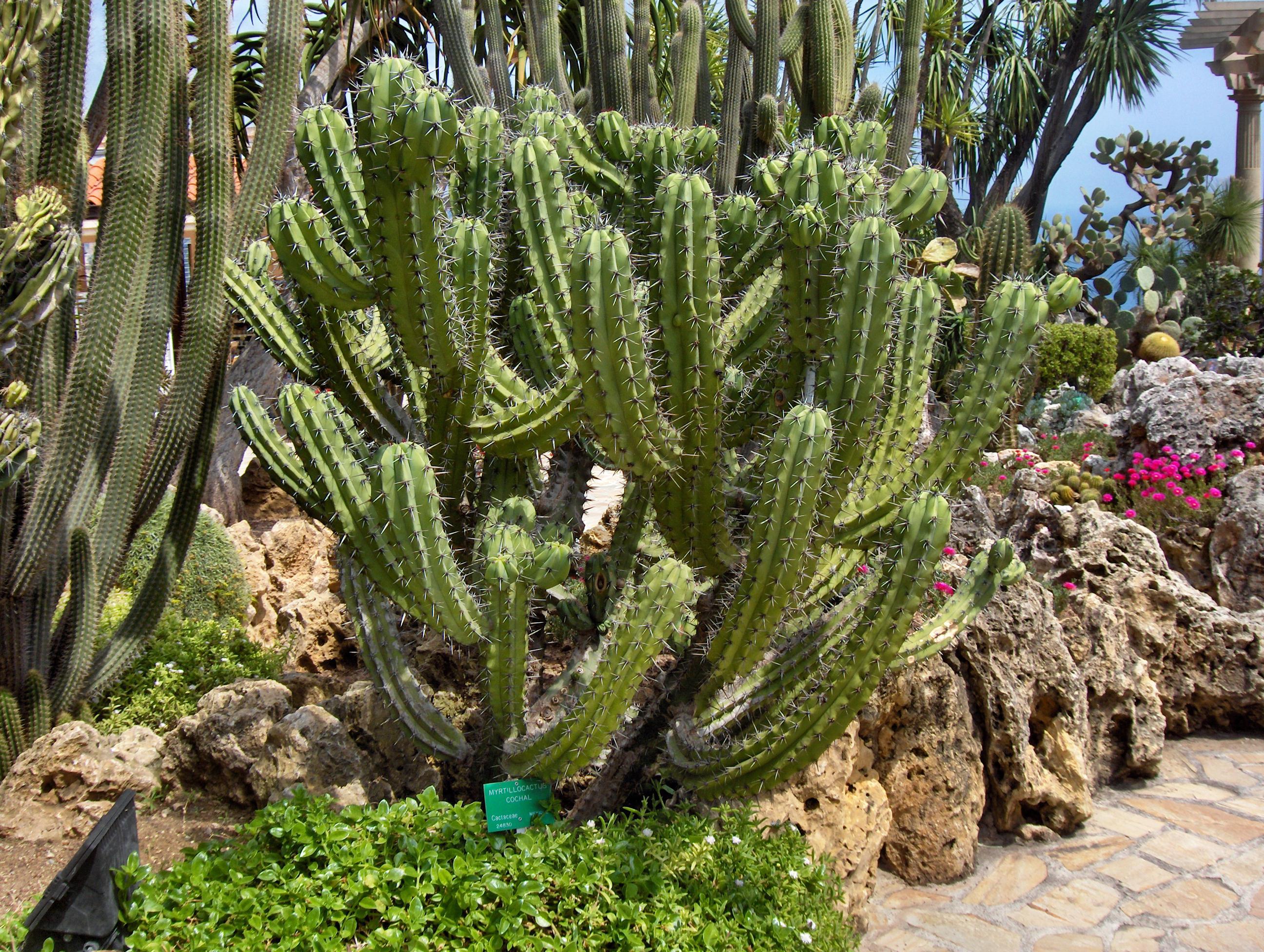 File monaco jardin wikimedia commons for Jardin exotique monaco
