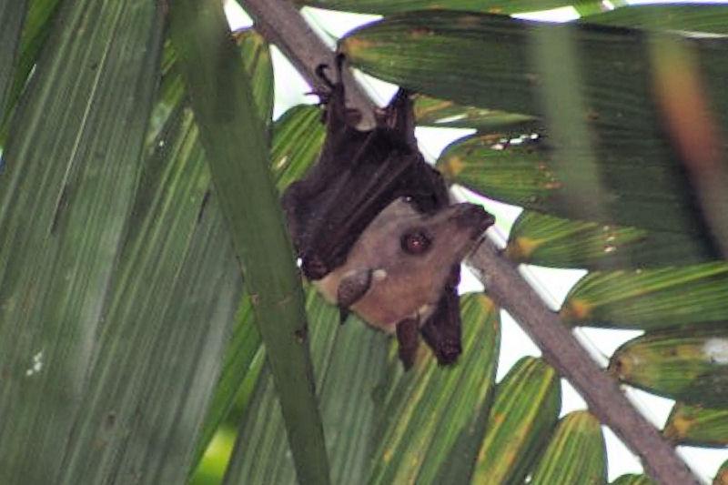 File:Morcego da Fruta (ANG).jpg