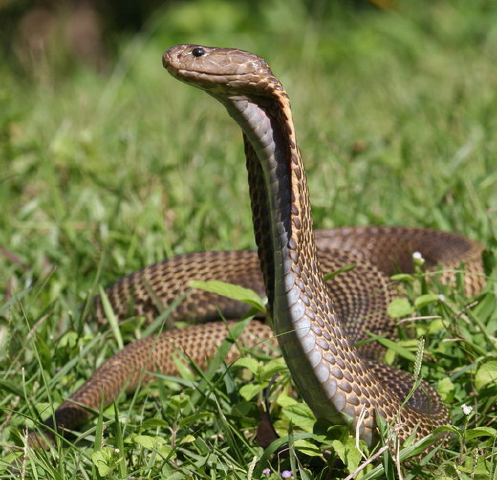 Spitting Cobra Facts You Need to Know! | Always Learning!