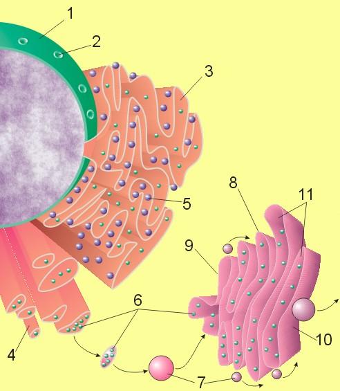 glucosilación de proteínas de Golgi y diabetes