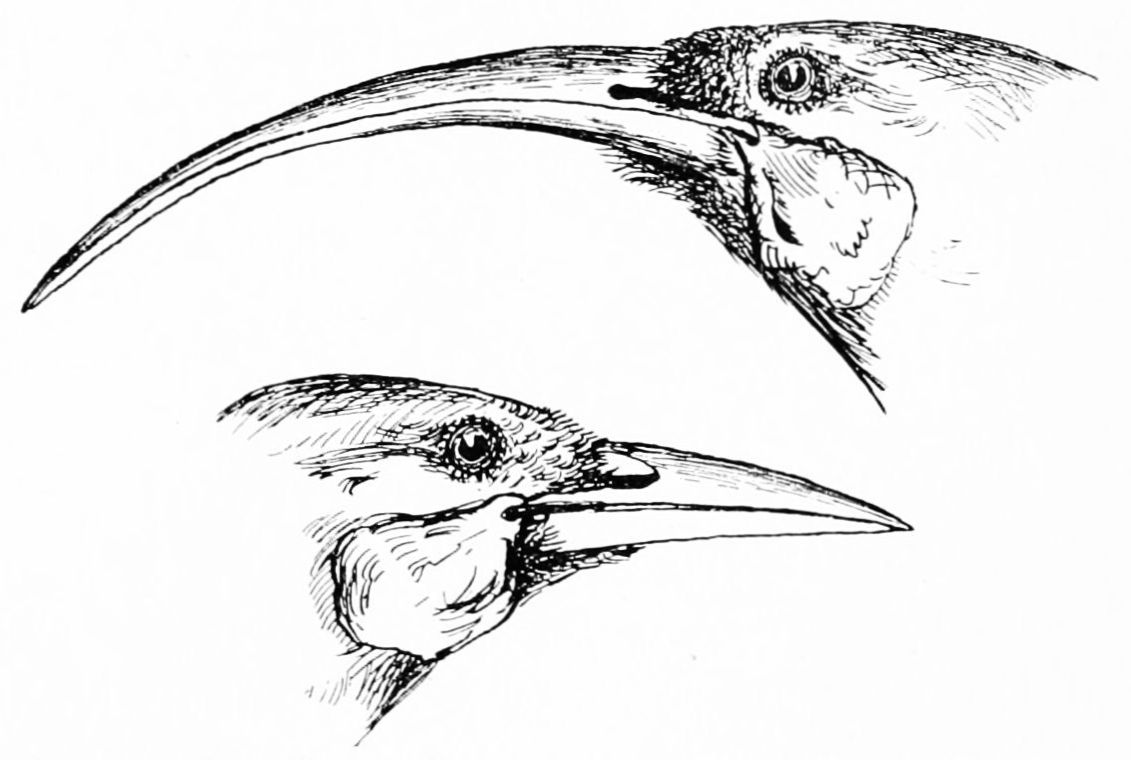 PSM V46 D797 The huia heteralocha female and male on bottom.jpg