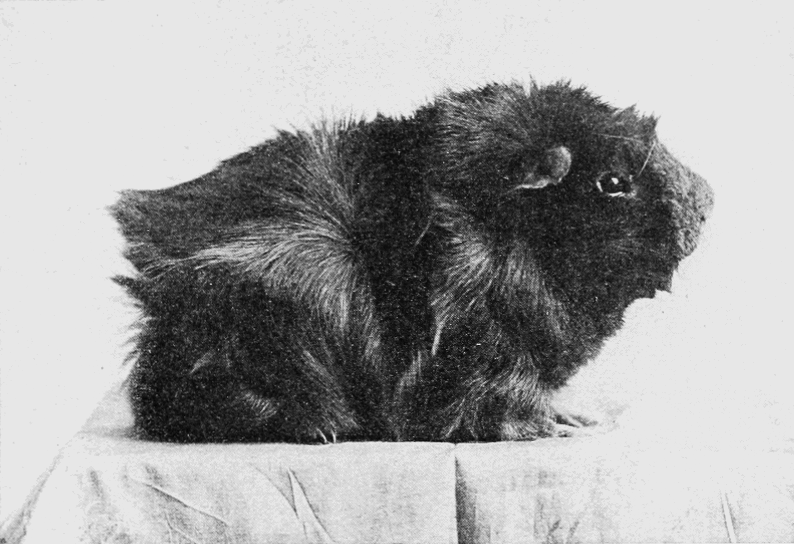 PSM V76 D431 Dark rough haired guinea pig.png
