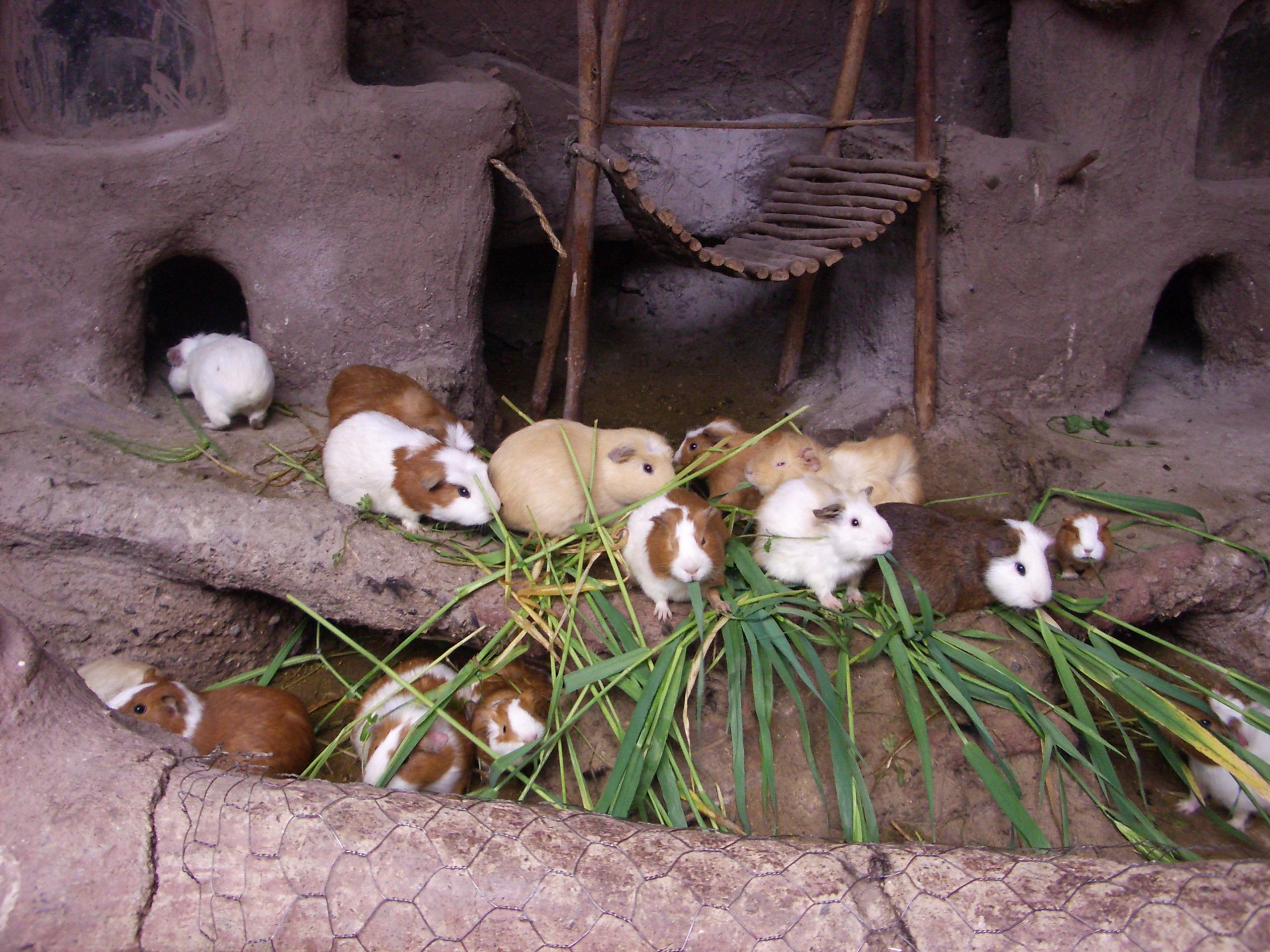 Hausmeerschweinchen – Wikipedia