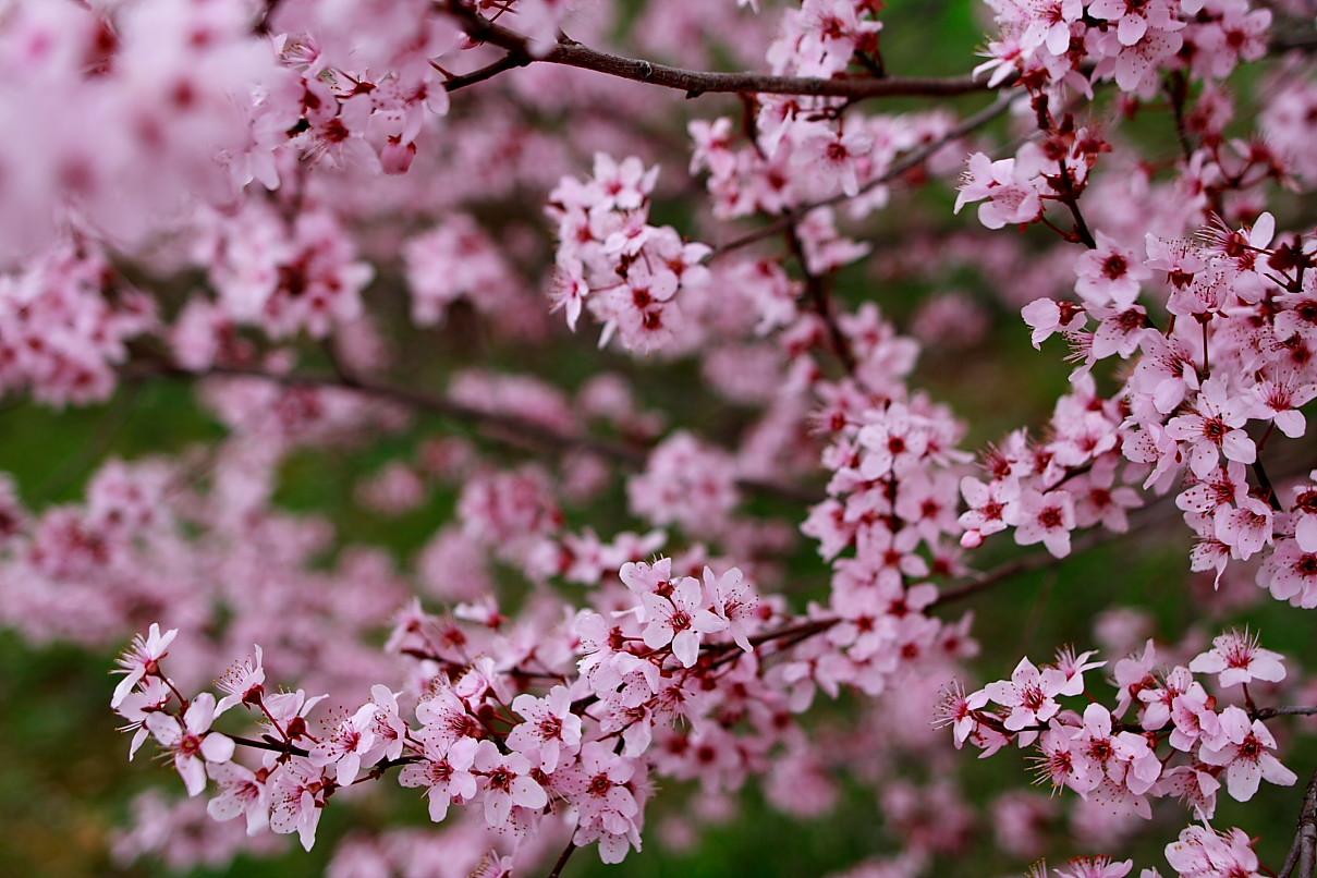 Fileplum tree spring blossom west virginia forestwanderg fileplum tree spring blossom west virginia forestwanderg mightylinksfo