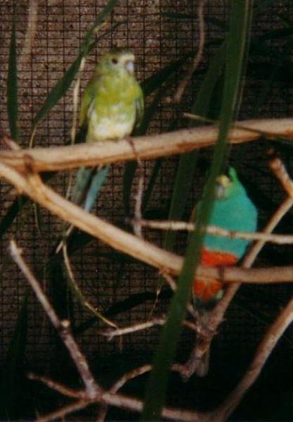 File:Psephotus chrysopterygius.jpg