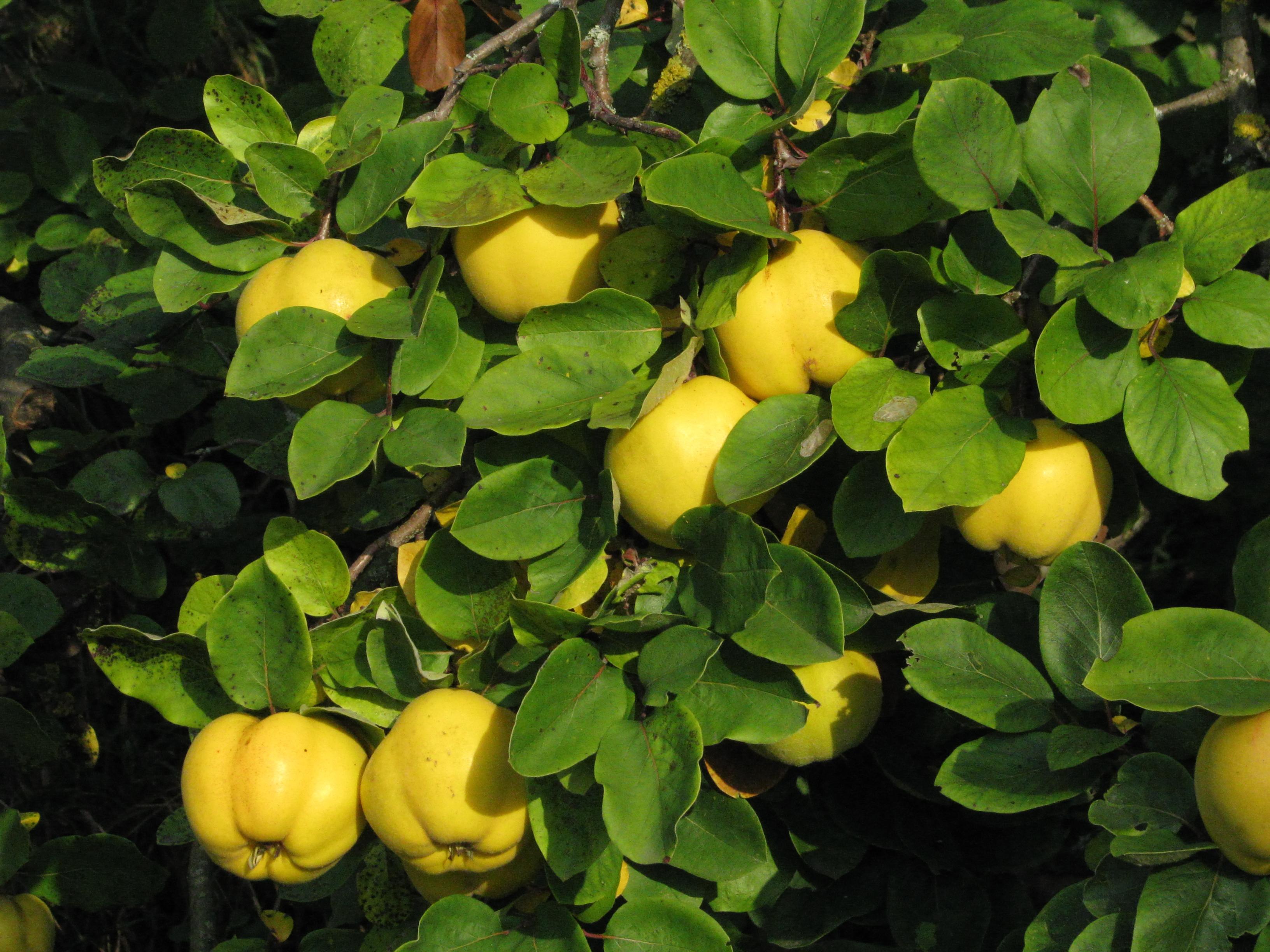 Birsfa termése