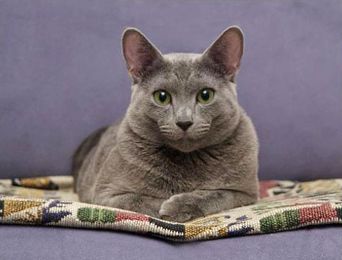 Russian_blue_cat.jpg