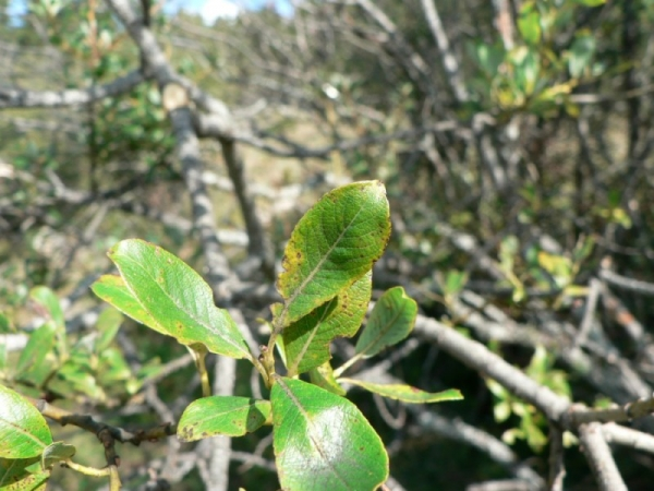 Salix myrsinifolia — Wikipédia