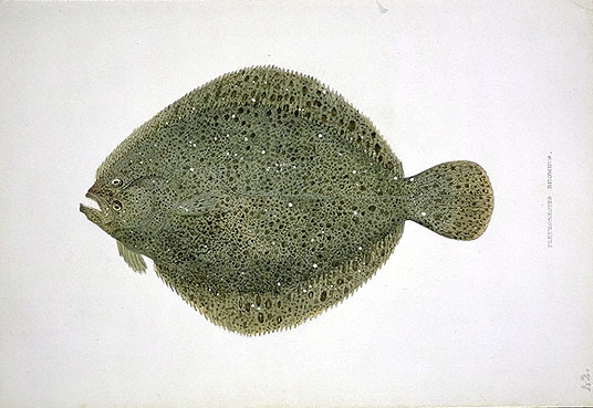 Brill (fish) - Wikipedia