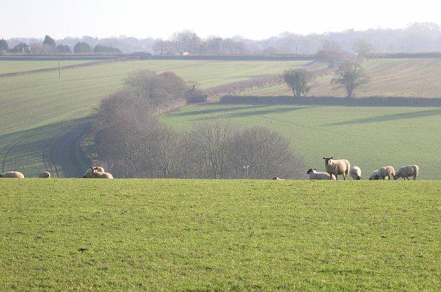 Sheep Grazing - geograph.org.uk - 89744