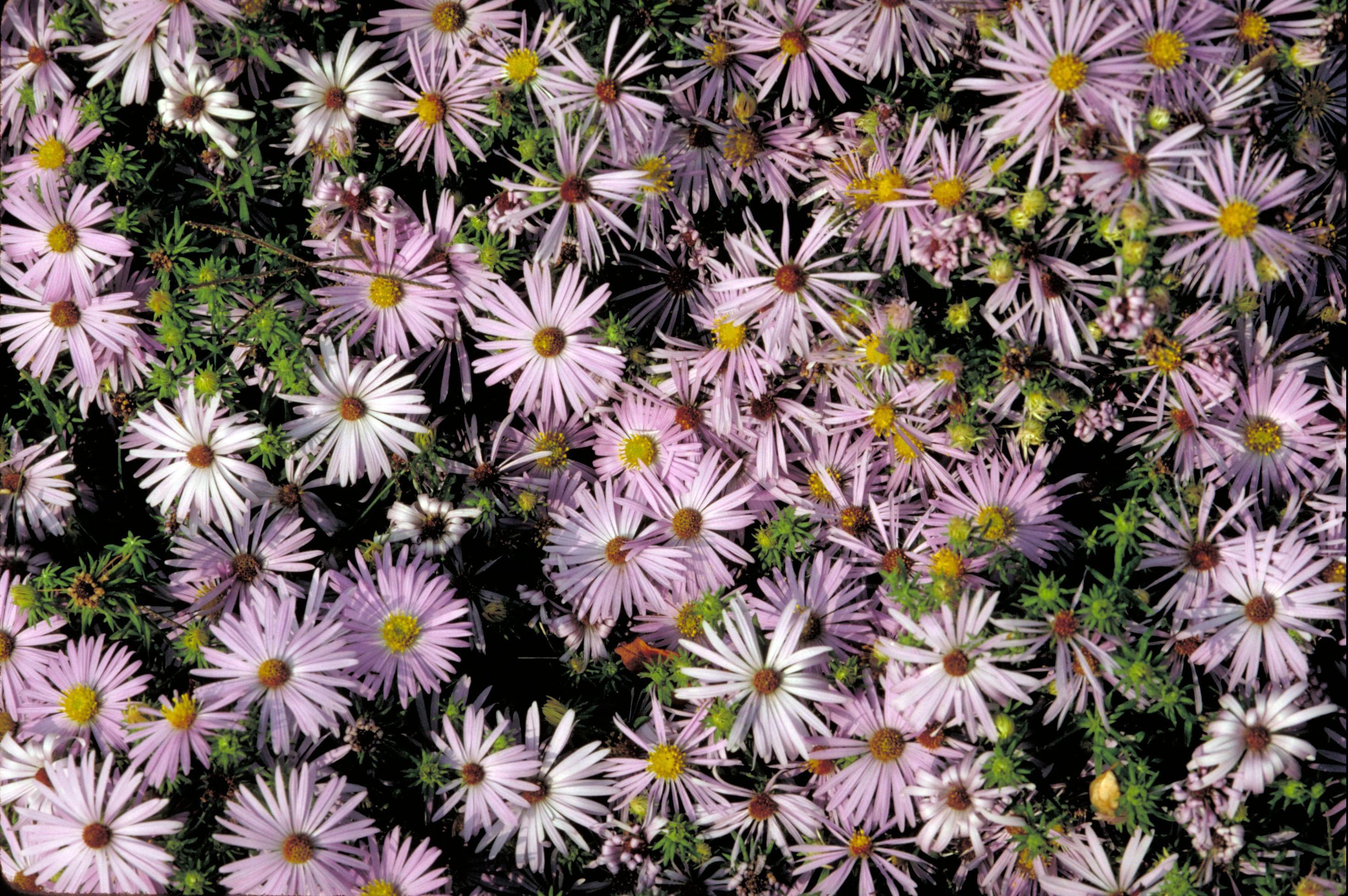 Fileshot Of Many Purple And White Flowersg Wikimedia Commons