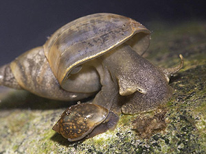 Basommatophora