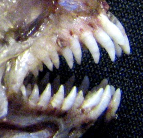 Teeth - Wikiversity