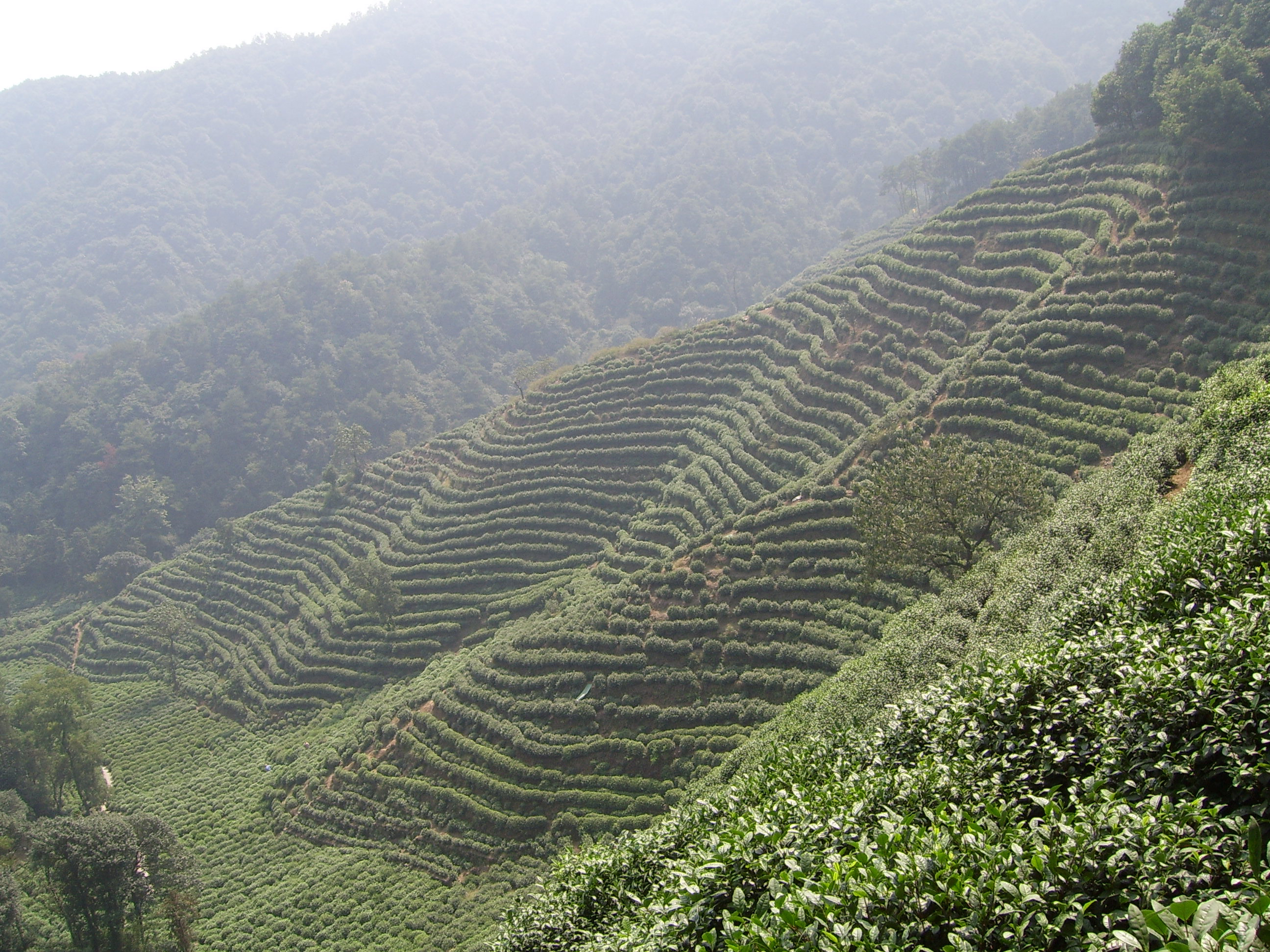 Tea plantation in hangzhou - from Wikimedia Commons