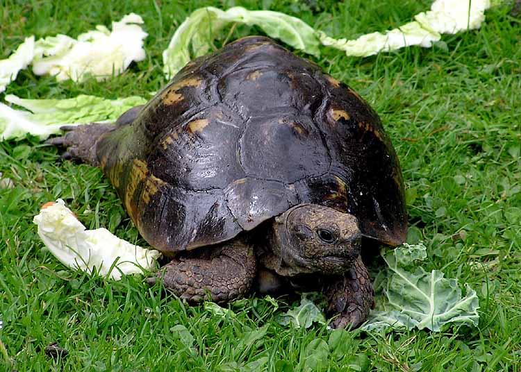 Tortoise.spur-thighed.arp.750pix.jpg