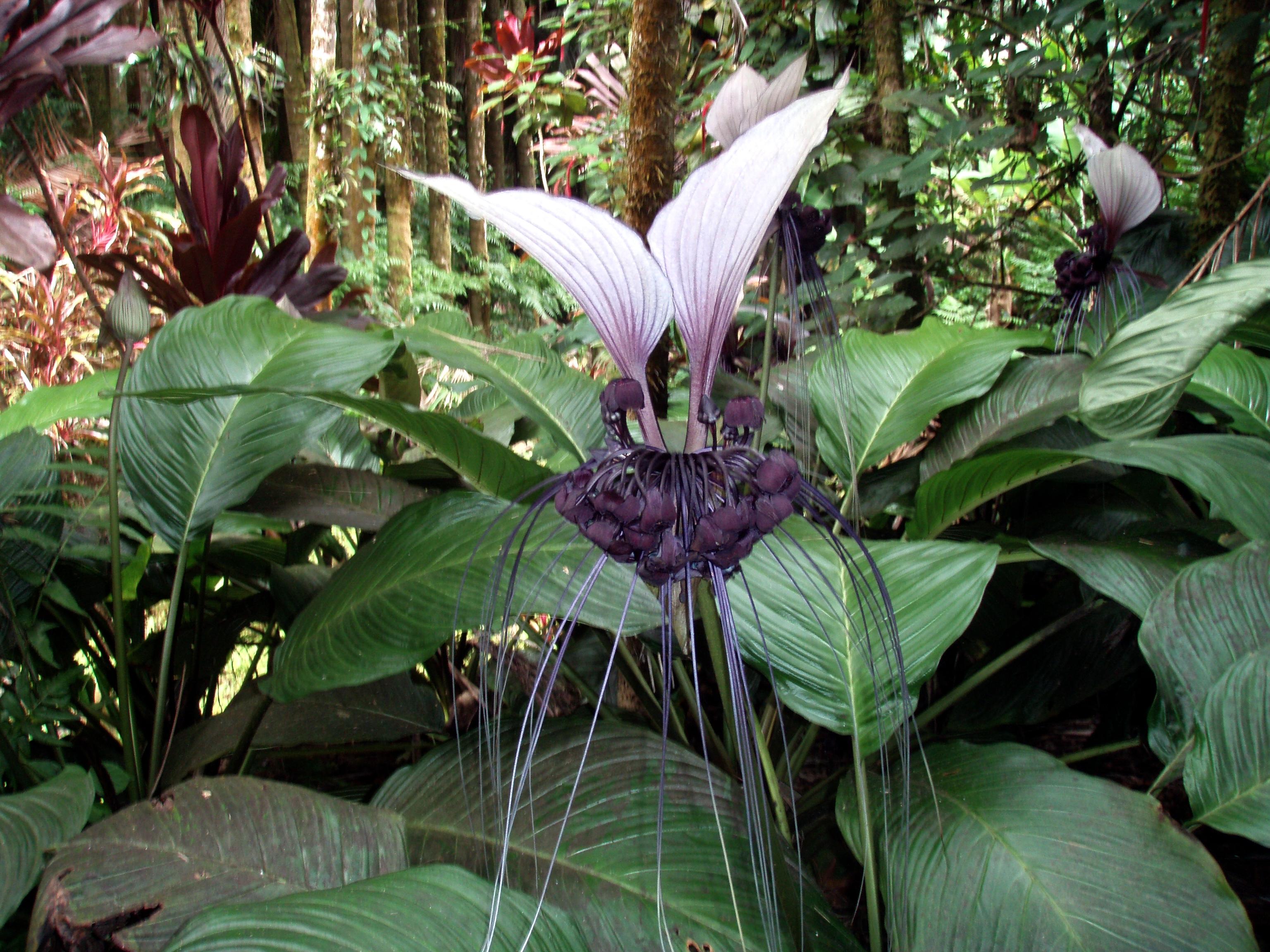 File White bat flower