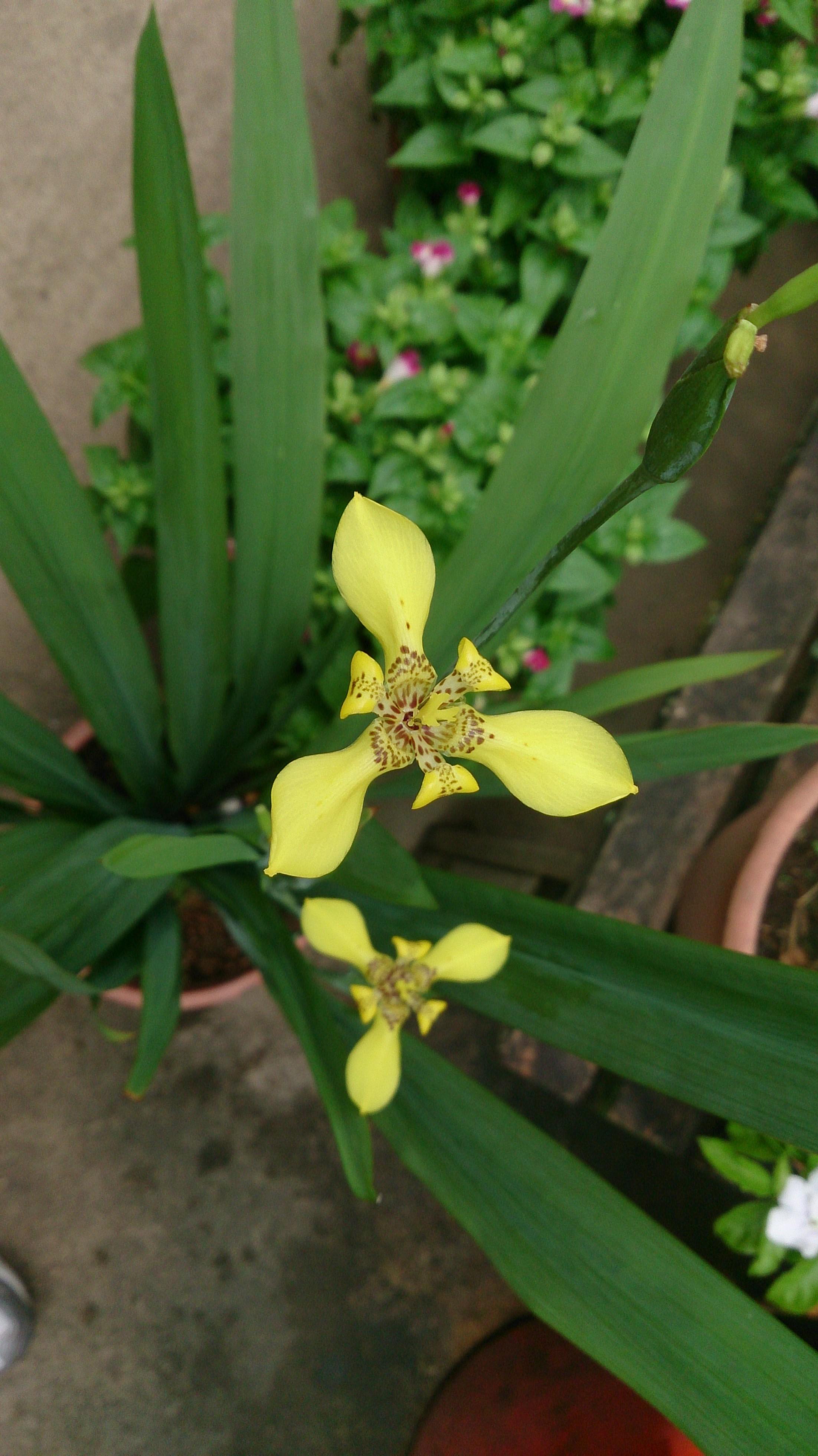 Fileyellow walking iris trimezia steyermarkiig wikimedia commons fileyellow walking iris trimezia steyermarkiig izmirmasajfo