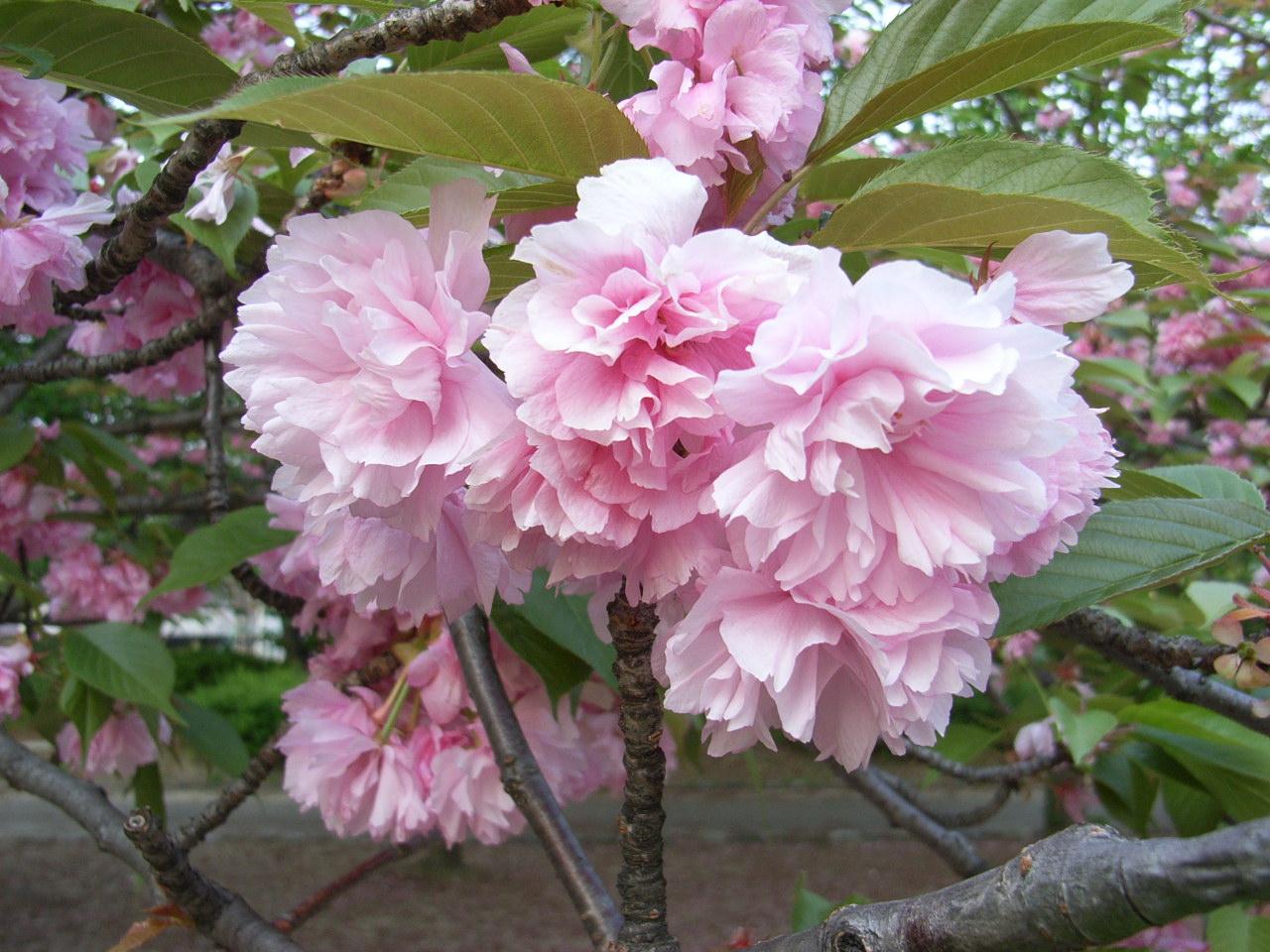 八重桜RIMG2176.JPG