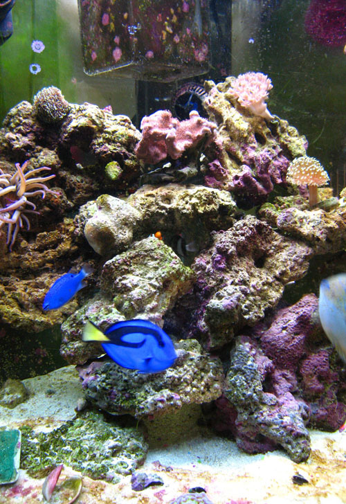 Marine aquarium wikipedia for Saltwater reef fish