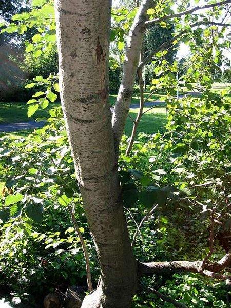 tronc argenté de l'aulne blanc