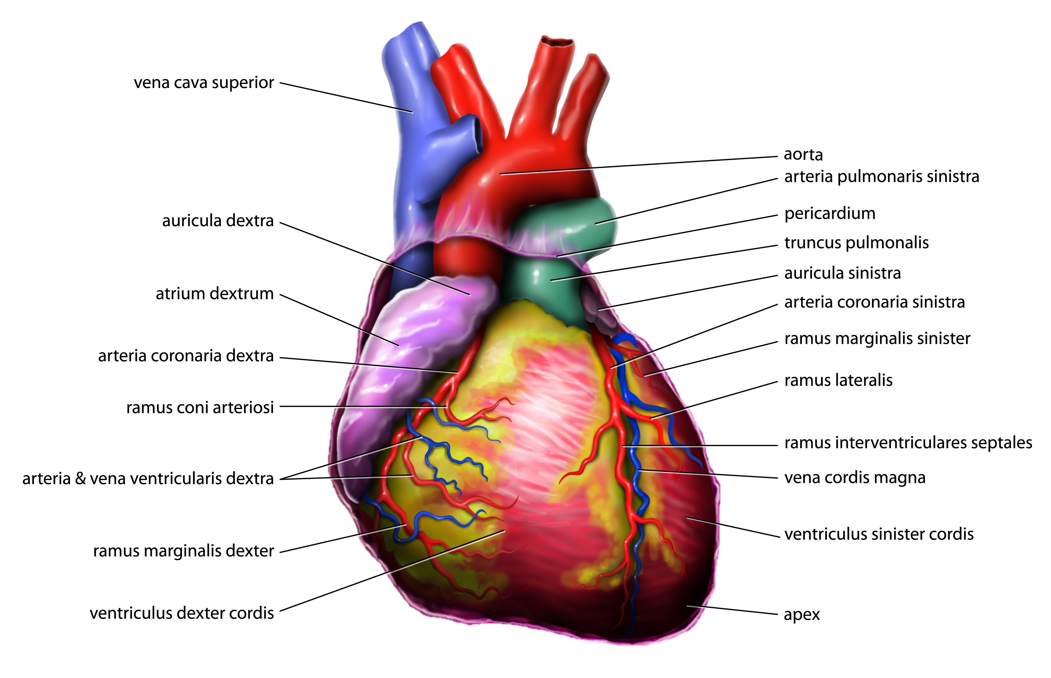 Fileanatomy Heart Latin Tiesworksg Wikimedia Commons