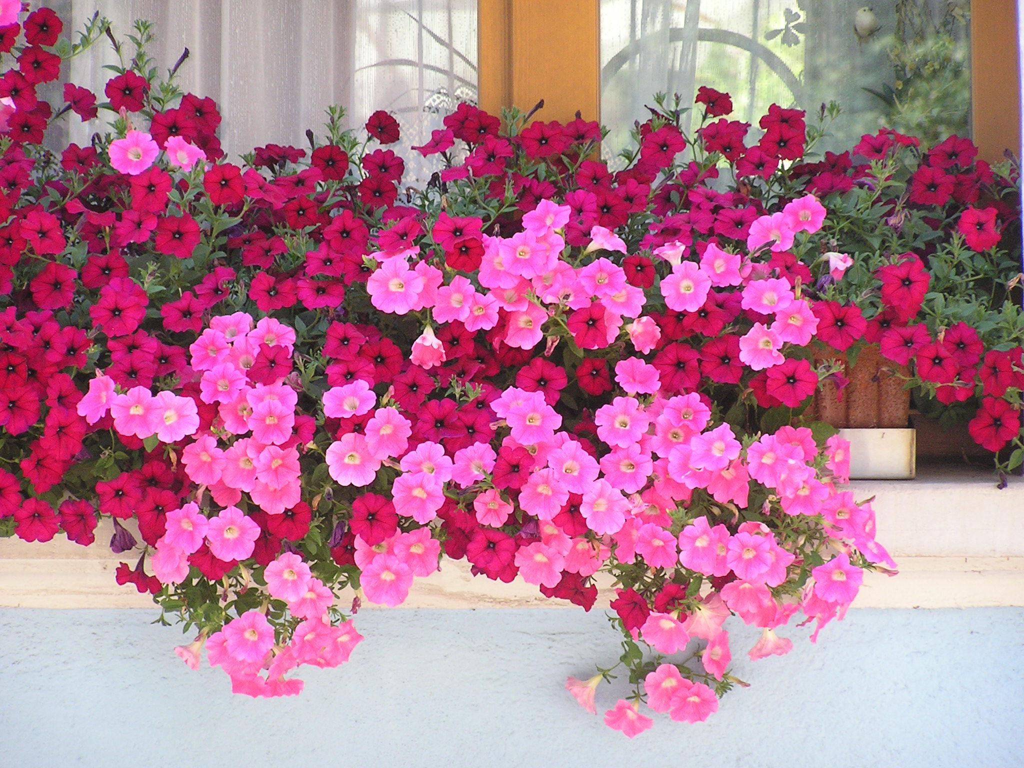 File balconni re de surfinia wikimedia for Composition jardiniere exterieure