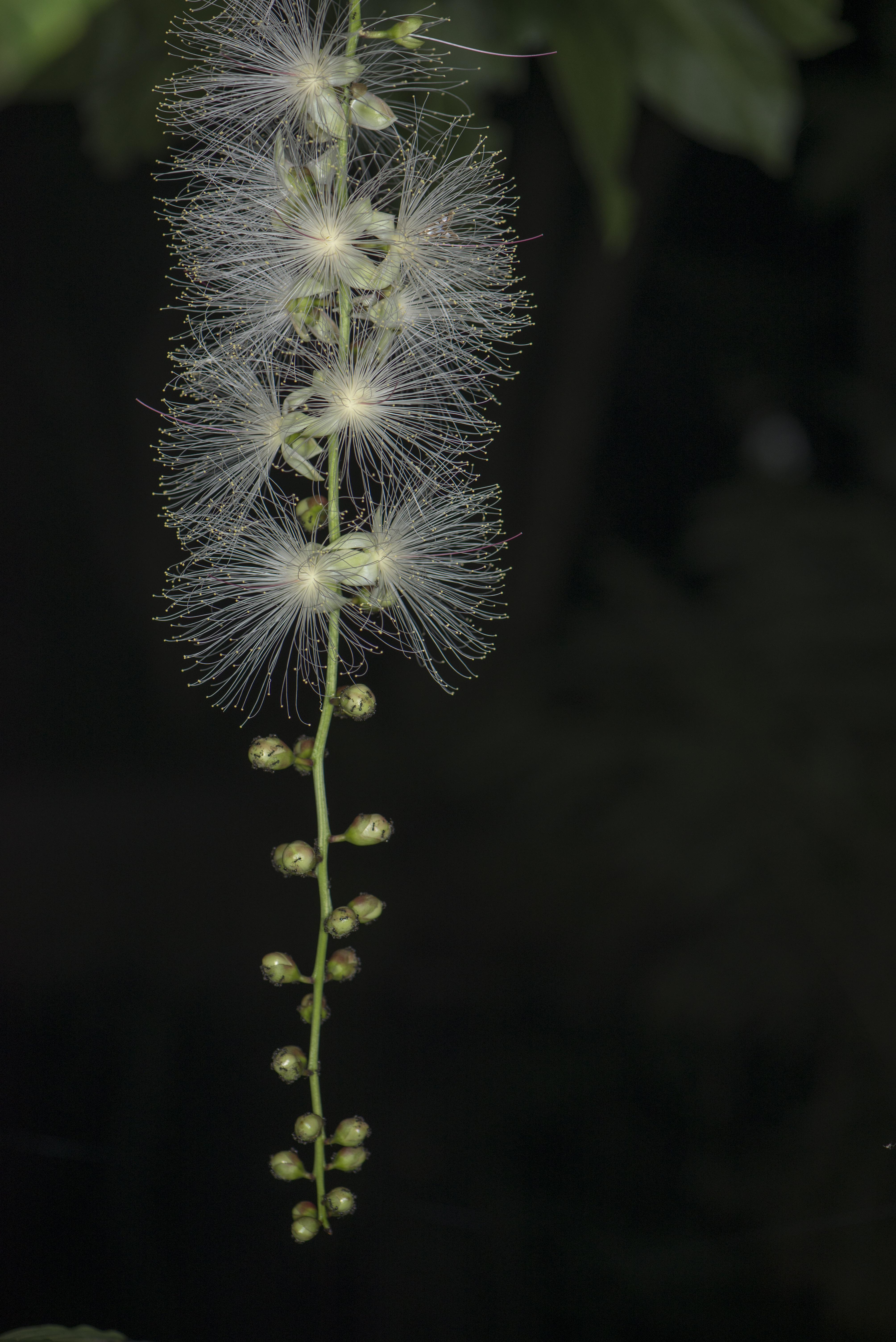 Barringtonia racemosa (43560169191).jpg