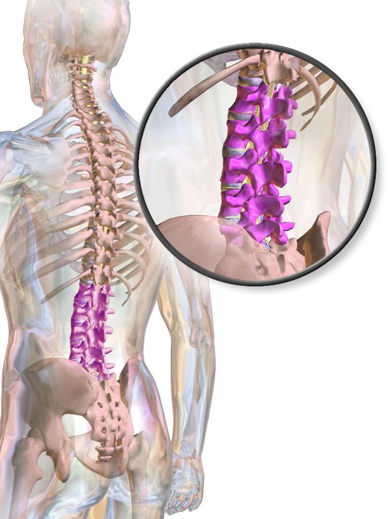 human vertebrae