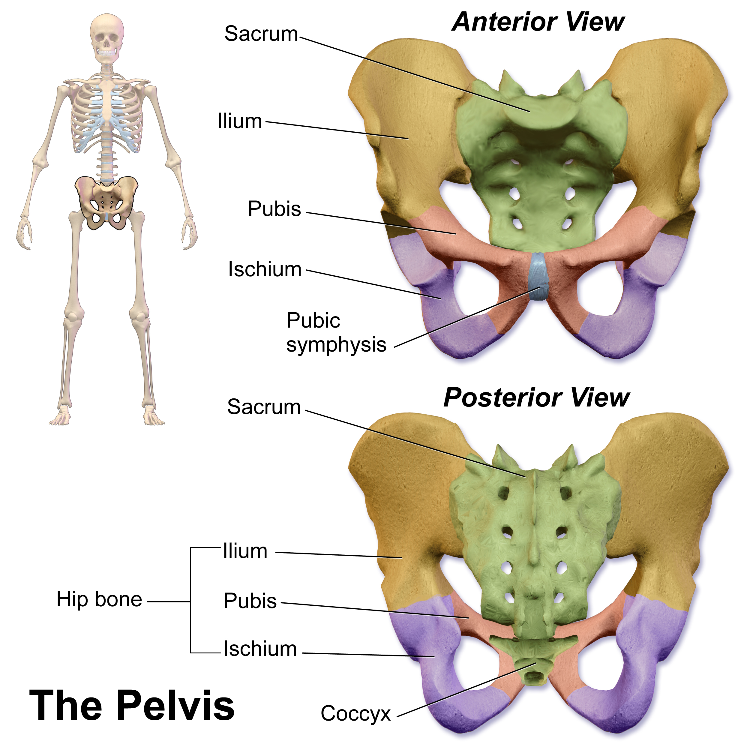 Pubis skeleton