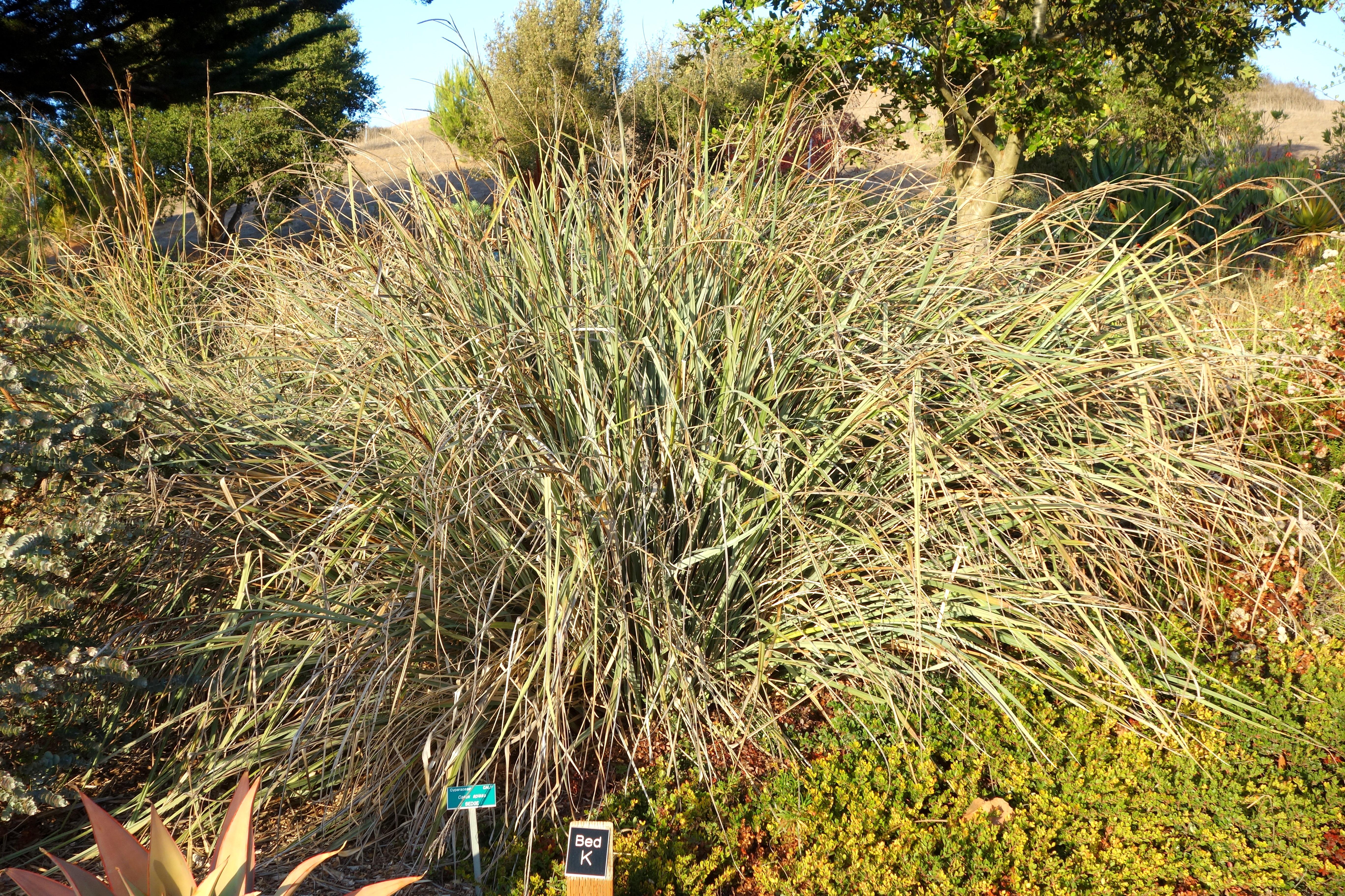 File:Carex Spissa   San Luis Obispo Botanical Garden   DSC06029.JPG